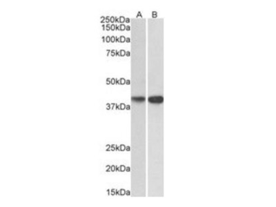 EXOG antibody