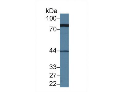 Meiotic Recombination 11 Homolog A (MRE11A) Antibody