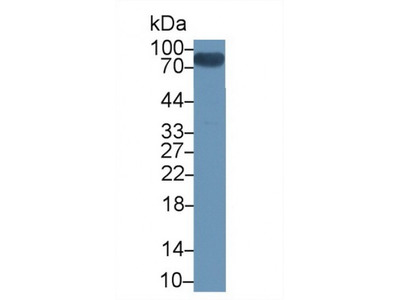 Small Ubiquitin Related Modifier Protein 1 (SUMO1) Antibody