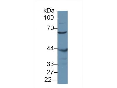 Misato Homolog 1 (MSTO1) Antibody