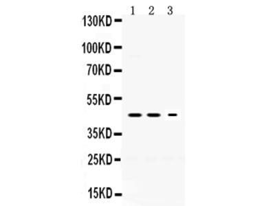 Anti-Neuroserpin/SERPINI1 Picoband Antibody
