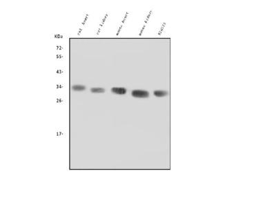 Anti-LOX Picoband Antibody