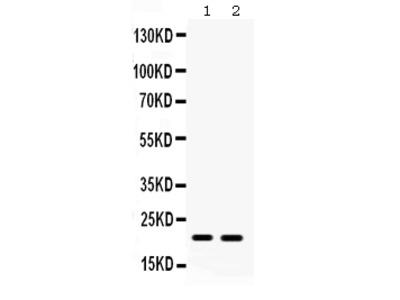 Anti-Glutathione Peroxidase 4/GPX4 Picoband Antibody