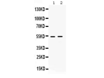 Anti-HSF4 Antibody Picoband