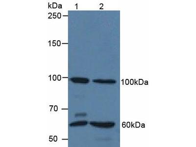 Polyclonal Antibody to Quiescin Q6 Sulfhydryl Oxidase 1 (QSOX1)