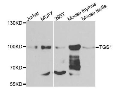TGS1 Polyclonal Antibody