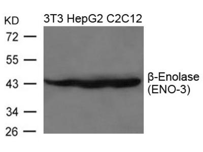 beta-Enolase(ENO-3) Antibody