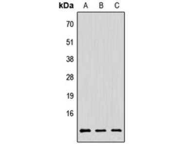 Anti-PAGE3 Antibody