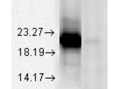 Alpha A Crystallin Antibody: ATTO 565