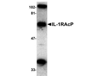 IL-1RAcP Antibody