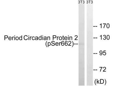 Period Circadian Protein 2 (Phospho-Ser662) Antibody