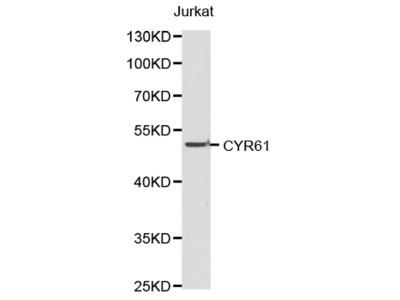 CYR61 antibody