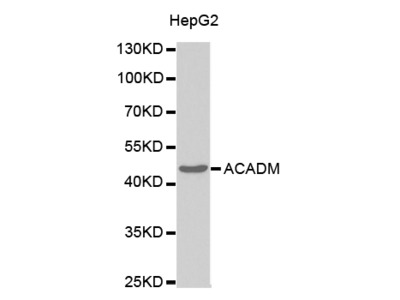 ACADM Antibody