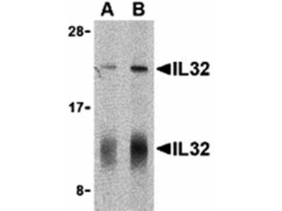 IL-32 Antibody