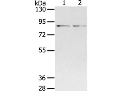 SPON1 Antibody