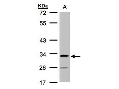 hypothetical protein LOC55286 antibody