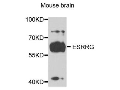ESRRG Polyclonal Antibody