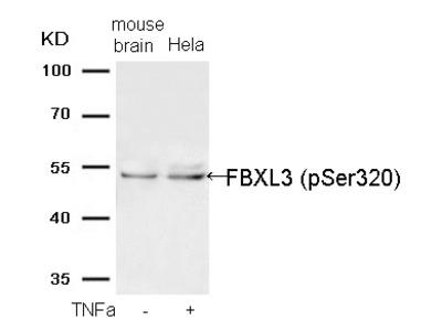 FBXL3 (Phospho-Ser320) Antibody