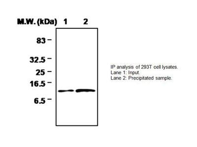 Thioredoxin 2 Antibody (4C5)
