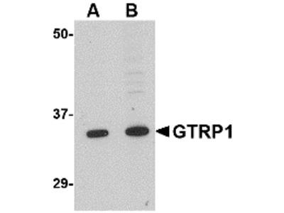 GRTP1 Antibody