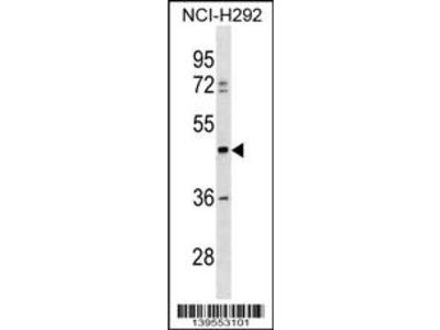 TULP3 Antibody (C-term)