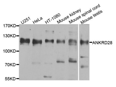 ANKRD28 Polyclonal Antibody