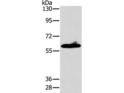 ASB3 Antibody