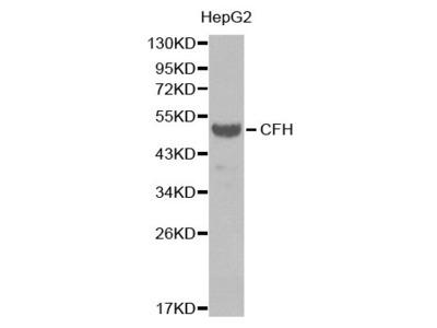 CFH Antibody