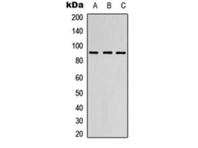 Anti-EMR2 Antibody