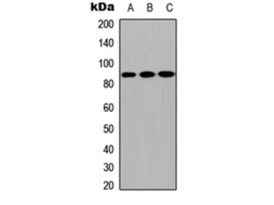 Anti-CPXM2 Antibody