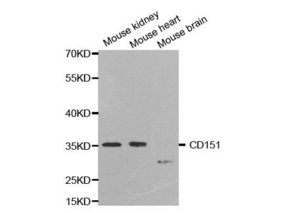 CD151 Antibody