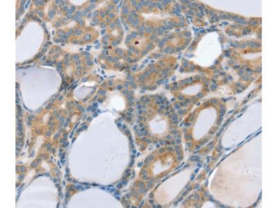 SNX29 Antibody