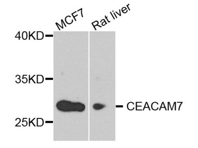 CEACAM7 Polyclonal Antibody