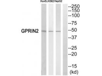 GPRIN2 Antibody