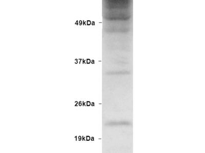 Ubiquitin Antibody: Streptavidin