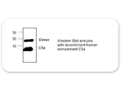 C5a Antibody