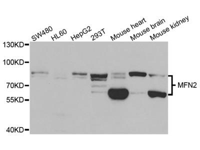 MFN2 Antibody