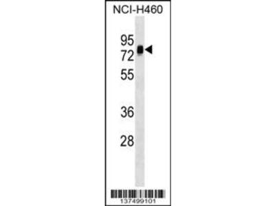 NAP1L3 Antibody (C-term)