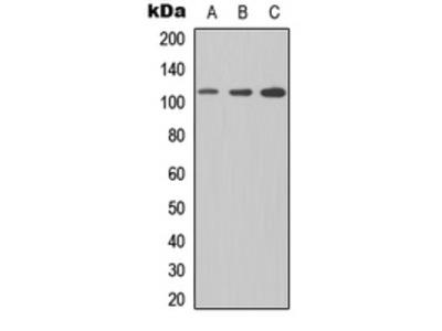 Anti-CD307e Antibody