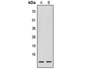 Anti-EIF1 Antibody