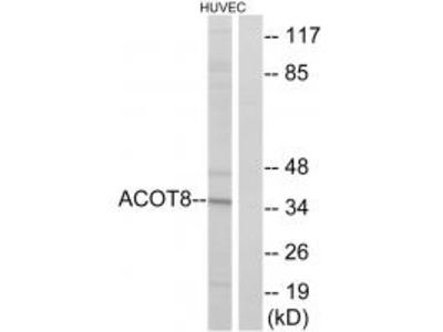 ACOT8 Antibody