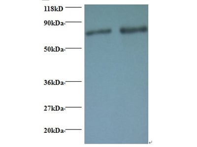 Rabbit anti-human Ras-related protein Rab-1A polyclonal Antibody, Biotin conjugated