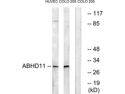 ABHD11 Antibody