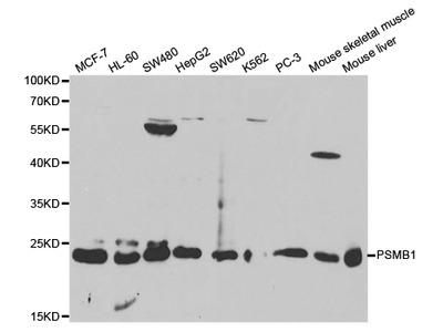 PSMB1 Antibody