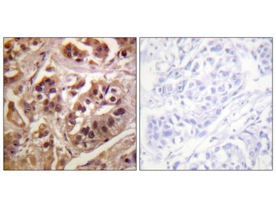 GRF1 antibody