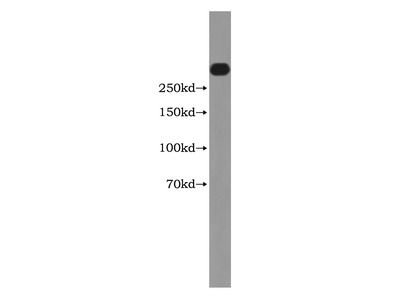 FLNB Antibody
