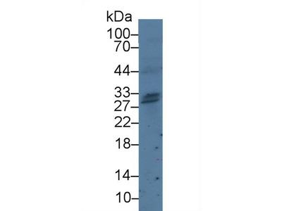 Polyclonal Antibody to Granzyme H (GZMH)
