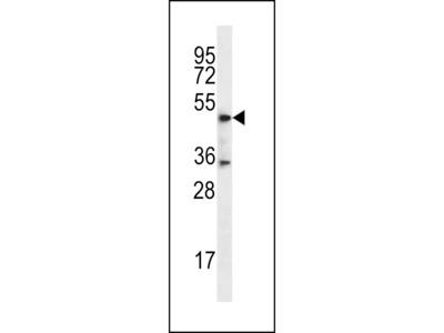 DSN1 Antibody (C-term)