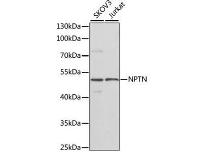 NPTN Polyclonal Antibody