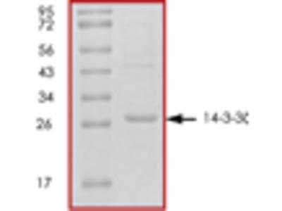 14-3-3 zeta recombinant protein
